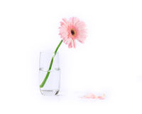 Sweet pink  Gerbera flower with water droplet, romantic and fre Stock Photo