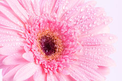 Sweet pink  Gerbera flower with water droplet, romantic and fre Stock Photos