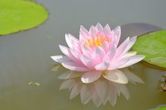 Sweet pink lotus flower blossom in a pond stock image