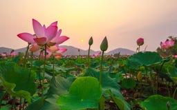 sweet pink lotus lake Royalty Free Stock Image