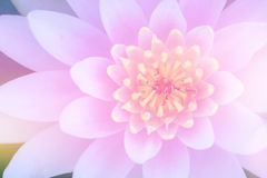 Sweet pink lotus Royalty Free Stock Photography