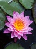 Sweet pink lotus Stock Images