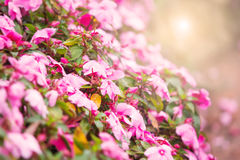 Sweet pink petunia flower bed for background royalty free stock image