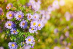 Sweet pink purple cosmos flowers in the field with blue sky background in cosmos field and copy space useful for spring background royalty free stock image