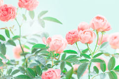The sweet pink rose flowers for love romance background Stock Photography