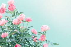 The sweet pink rose flowers for love romance background Stock Photo