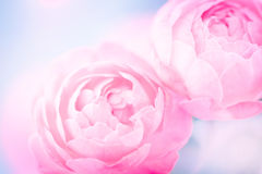The sweet pink rose flowers for love romance background Royalty Free Stock Photos