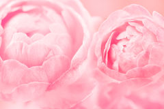 The sweet pink rose flowers for love romance background Royalty Free Stock Photography