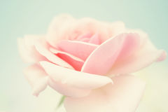 Sweet pink rose in soft color and blur style Stock Image