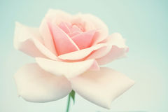 Sweet pink rose in soft color and blur style Stock Images