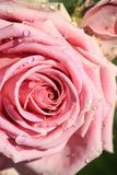 Sweet pink rose in soft color and drops water. For valentines day and wedding background royalty free stock photography