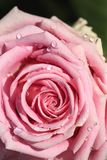 Sweet pink rose in soft color and drops water. For valentines day and wedding background stock photography