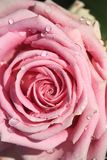 Sweet pink rose in soft color and drops water. For valentines day and wedding background stock image