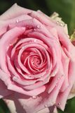 Sweet pink rose in soft color and drops water. For valentines day and wedding background royalty free stock images