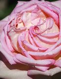 Sweet pink rose in soft color and drops water. For valentines day and wedding background stock photos