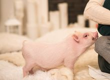 Cute smiling pink mini pig, background blurred stock image