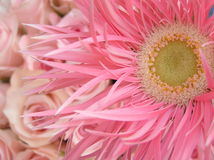 Sweet pinks. Photograph of the heart of a very beautiful pink gerbera daisy with soft pink baby roses in the background Stock Photo