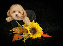 Sweet Poodle Puppy Royalty Free Stock Photo