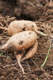 Sweet potato. Which digs out from the soil stock photo