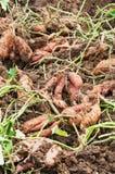 Sweet potato Stock Images