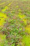 Sweet potato. Plants and green grass stock photos