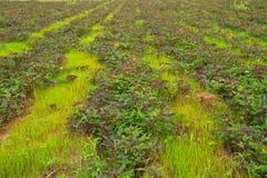 Sweet potato. Plants and green grass stock image
