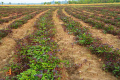 Sweet potato. Young sweet potato plants rows royalty free stock images