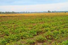 Sweet potato. Young sweet potato plants rows stock image