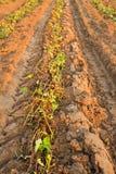 Sweet potato. After sweet potato plants harvest royalty free stock photo