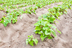 Sweet potato crop Royalty Free Stock Photo