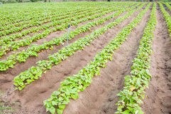 Sweet potato crop Stock Photo