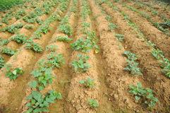 Sweet potato field Stock Photography