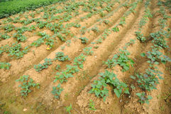 Sweet potato field Royalty Free Stock Photography