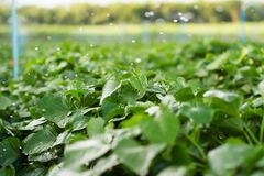 Sweet potato fields. Water splashing to sweet potato fields stock photo