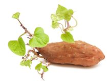 Sweet potato with green sprigs Royalty Free Stock Photo