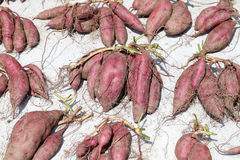 Sweet potato harvesting. Sweet potato plant harvesting with tubers in soil dirt surface Stock Image