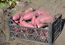 The sweet potato or kumara Ipomoea batatas harvest. Stock Photo