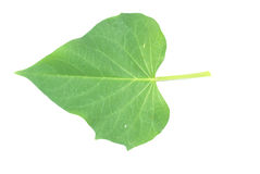Sweet potato leaf Royalty Free Stock Image