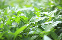 Sweet potato leaf Stock Image