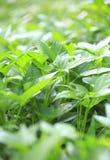 Sweet potato leaf Stock Photos