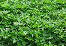 Sweet potato leaf Royalty Free Stock Photos