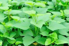 Sweet potato leaf Stock Photo