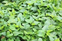 Sweet potato leaf Stock Photography