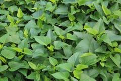 Sweet potato leaf Stock Images