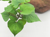 Sweet potato leaves Royalty Free Stock Image