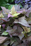 Sweet potato. With leaves in shades of green and dark purple stock photo