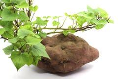 Sweet potato leaves and shoots Stock Photo