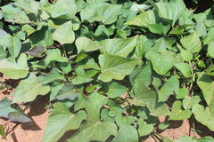 Sweet Potato Plants Stock Images
