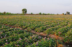 Sweet potato plants Royalty Free Stock Photo