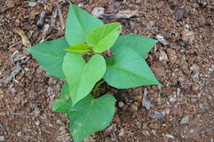 Sweet potato seedlings Royalty Free Stock Photo